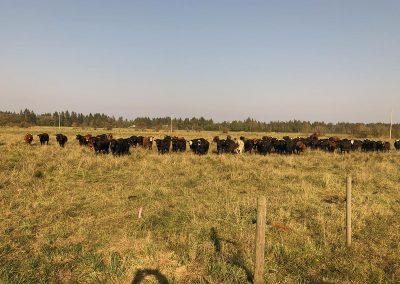 Herd on Lush Organic Pasture